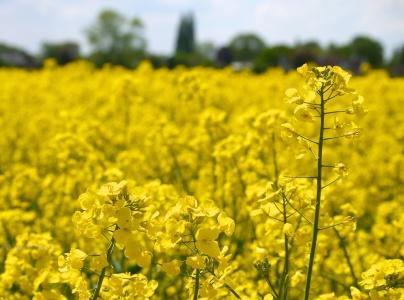 Fragrant crop