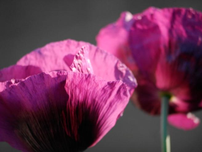 Rose's purple poppies. SOOC