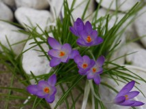 Crocus and cobbles
