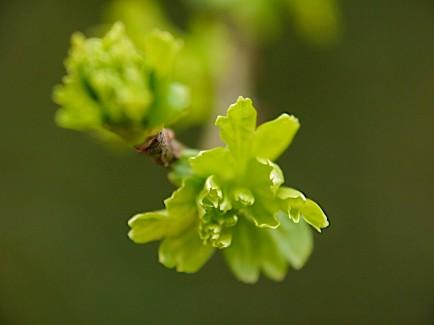 Hawthorn green