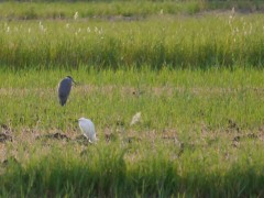 Egret and grey heron