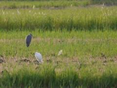 Egret and grey heron