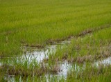 The rice is riz