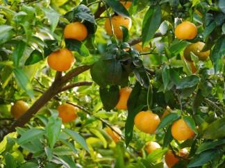 Marmalade tree
